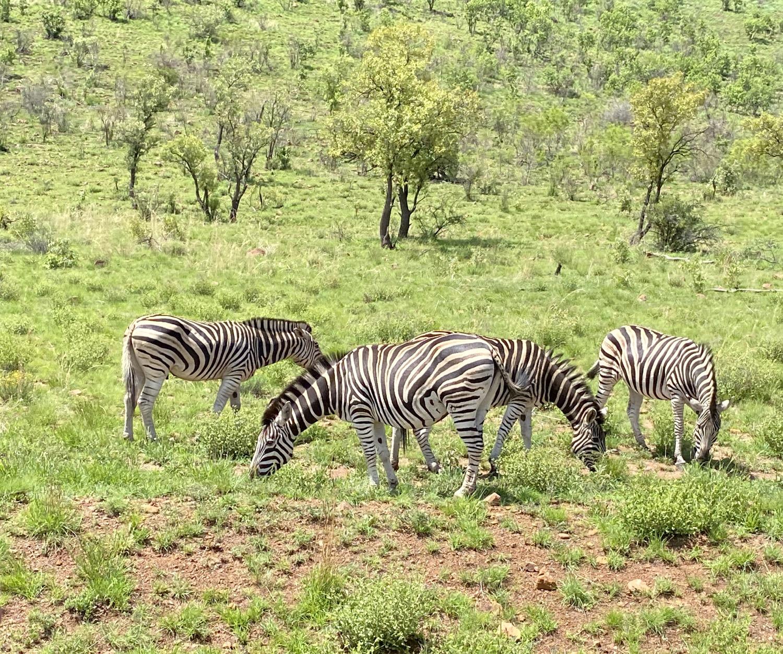 Zebras comiendo en Pilanesberg
