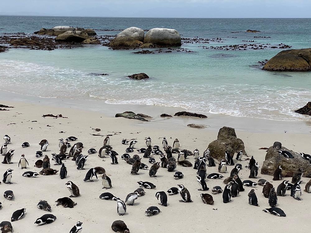 Colonia de pingüinos africanos salvajes