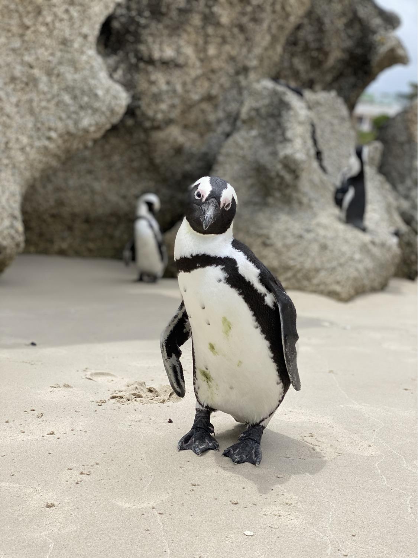 Pingüino africano salvaje