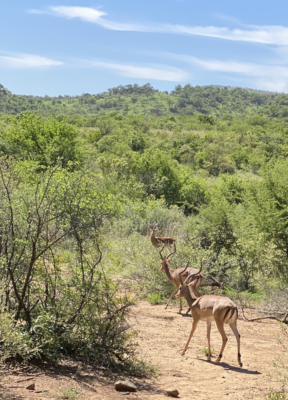 Impalas en Pilanesberg