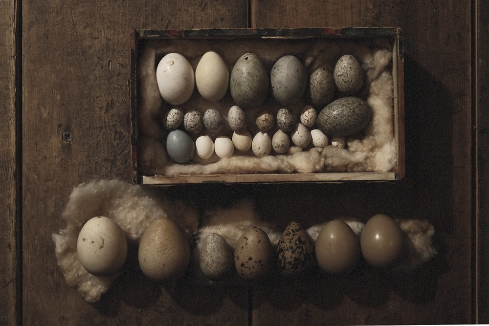 REAL BIRD EGGS