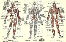 abdomen-duoderum-human-anatomy-poster-pa