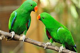 perroquets verts