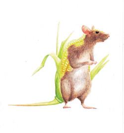 Rat Corn