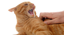 Petting-Induced Aggression in Domestic Felines –  Unprovoked Attack or Misunderstanding? (Part Two)