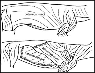 Cutaneous Trunci Cat.png