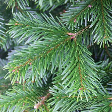 nordman-fir-christmas-tree-edenmill.jpg