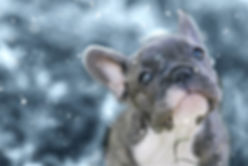 3 months old french bulldog and his firs