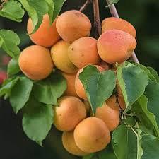 Blenheim Apricot (White Balsamic)