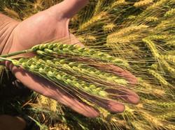 andrew wheat