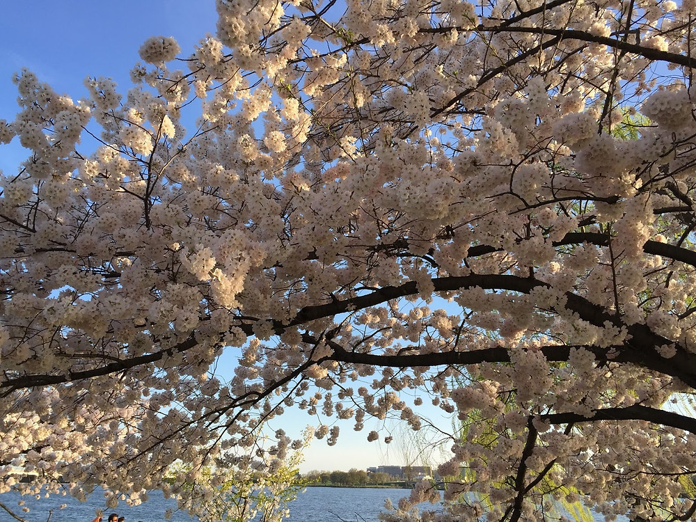One of my favorite things about spring- DC cherry blossoms!