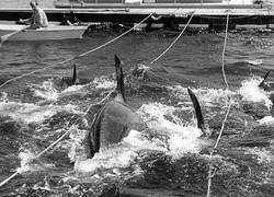 Penn Cove Capture Aug 8 1970