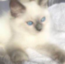 Mitted Bluepoint Male (ElleRagdolls).jpg