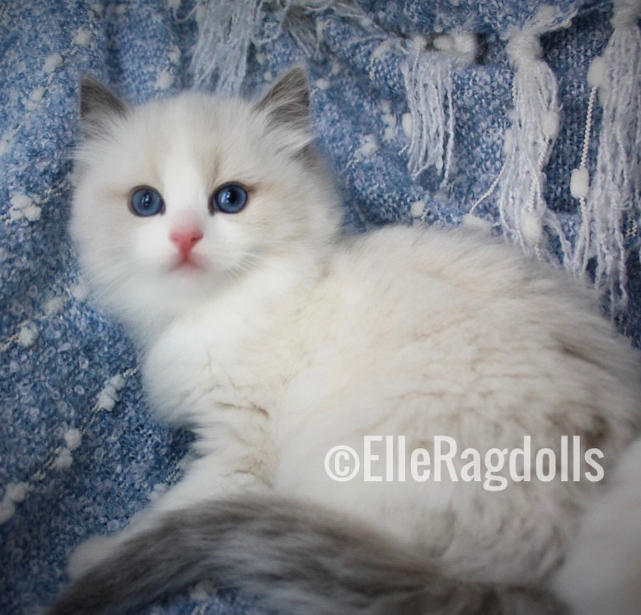 Lily Bloom (ElleRagdolls) Blue Bicolor #