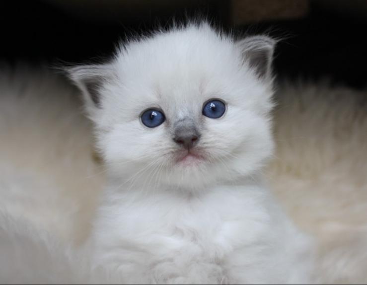 Baby Blue (ElleRagdolls) .png