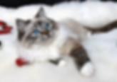 Dreamer Mitted Sealpoint Lynx (ElleRagdo
