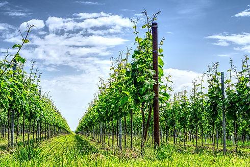 vineyard-3442847_1920.jpg