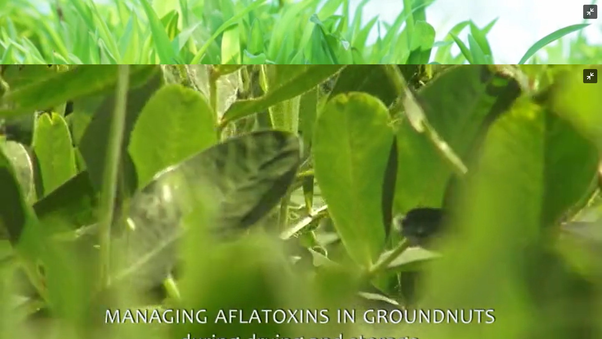 Managing Aflatoxins in Groundnut