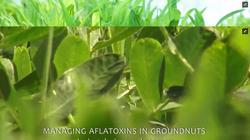 Managing Aflatoxins in Groundnut