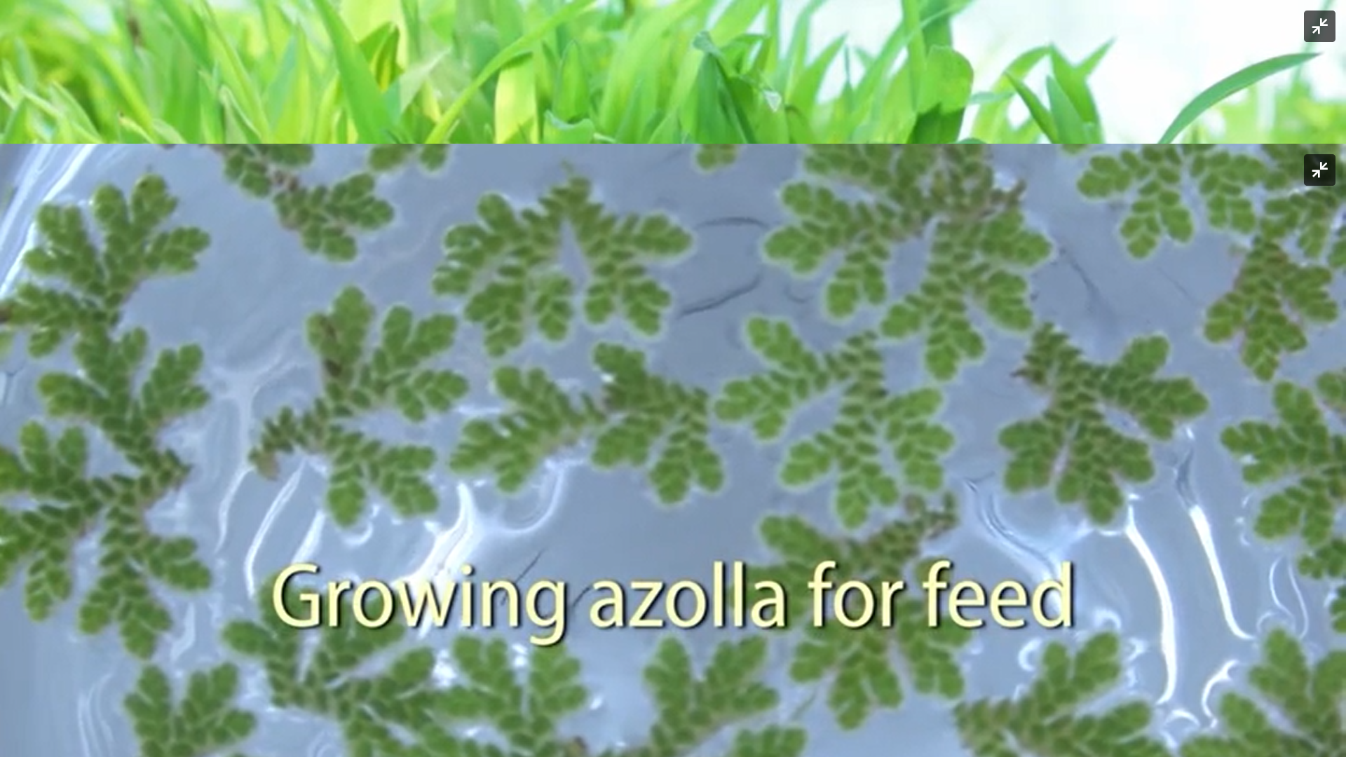 Growing Azolla
