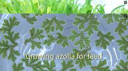 Growing Azolla
