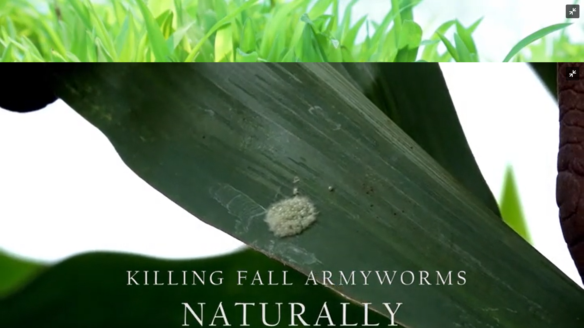 Killing Fall Armyworms