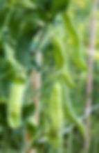 15546352_peas on plant_xl_123rf_s.jpg