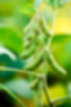 39234241_soybeans green on plant_l_123rf