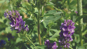 Practice Note 'Growing lucerne in cool climates' available