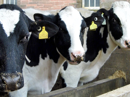 Practice Note 'Alternatives to soya for dairy cows' available