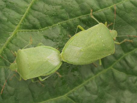 Practice Note 'Southern green shield bug in soybean' available