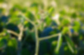 15796135_small soybean on plant close up