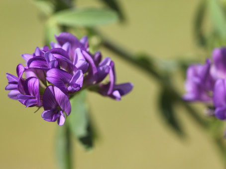 Practice Note 'Lucerne in north-western Europe' available