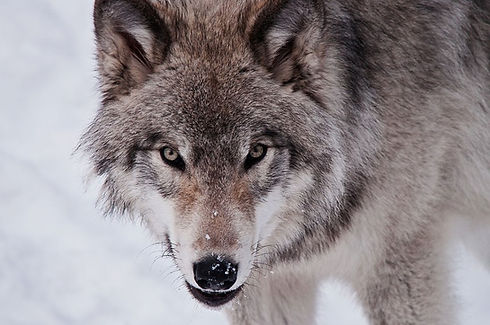 lone_wolf.jpg