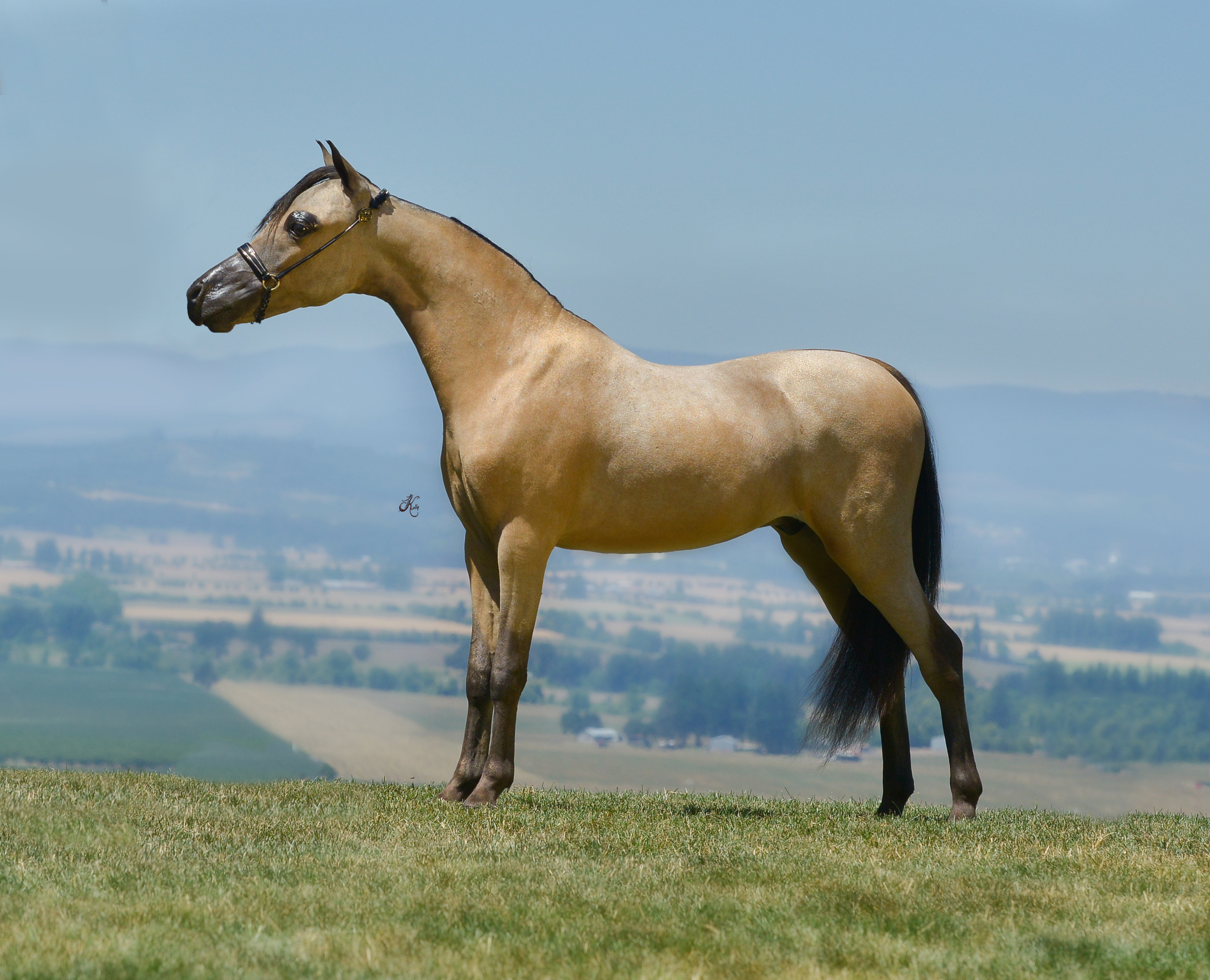 Amaretto Miniature Horses | Alberta Miniature Horse for sale, miniatur