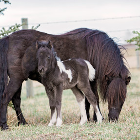 Miniature Horse Foaling Cheat Sheet