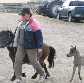 Estimating Foal Height by Leg Measurement