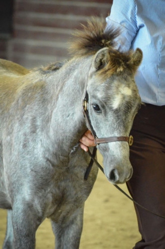 Ari was shown inhand as a foal