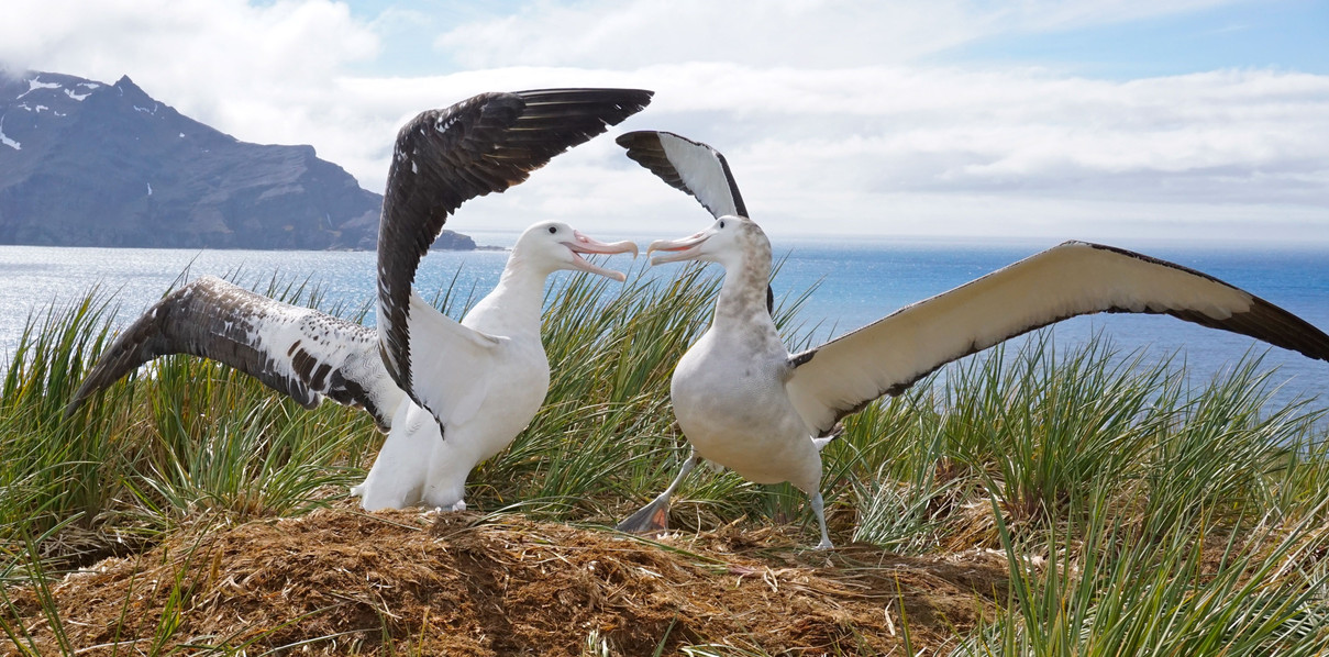 Wandering Albatross displaying