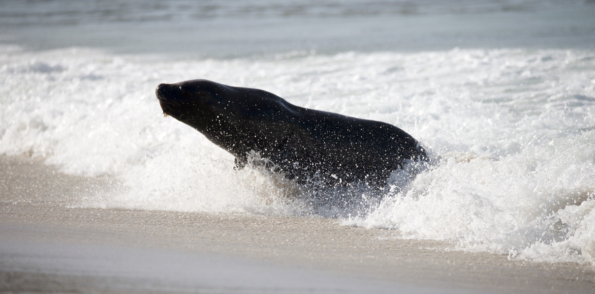 Sea Lion rushing out of the surf