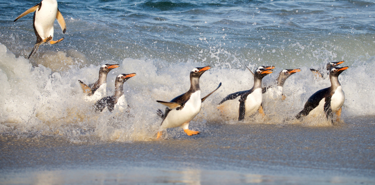 Gentoo penguins landing