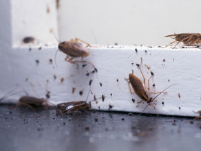 Roaches Giving You Asthma? Roach Treatments Save The Day
