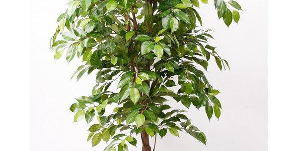 Ficus Deluxe Vine Tree
