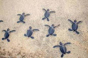 turtle release.jpg
