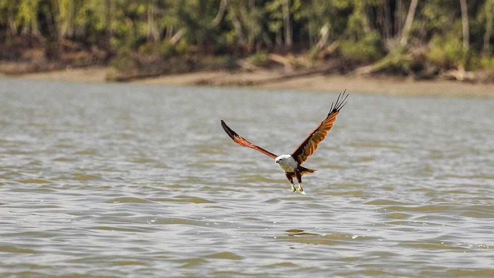 EagleFeeding-1613_edited.jpg