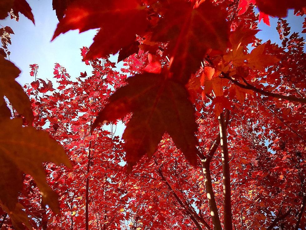 feuilles oranges.jpg