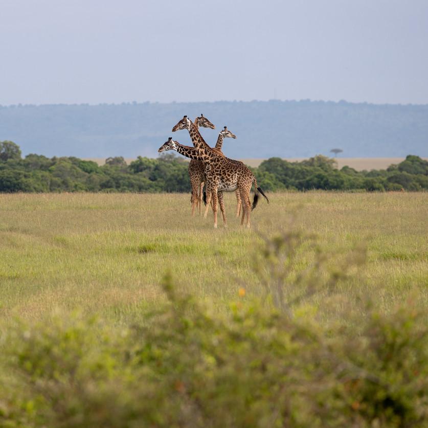 Wildlife Masai mara08.jpg