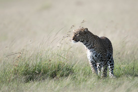 Wildlife Masai mara23.jpg