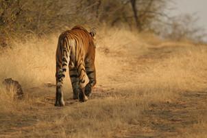 Tigres - Inde Jl site internet 003.jpg