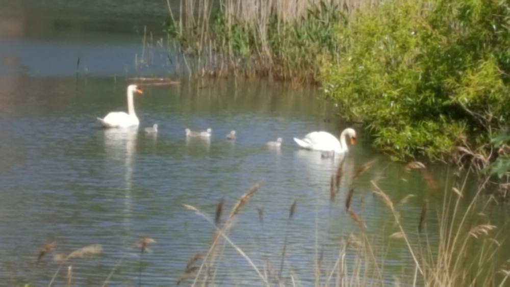 The swans and signets at Fort Brockhurst